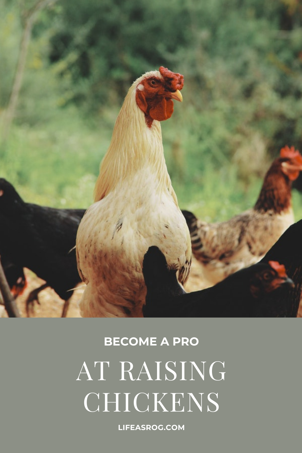 Become a Pro at Raising Chickens