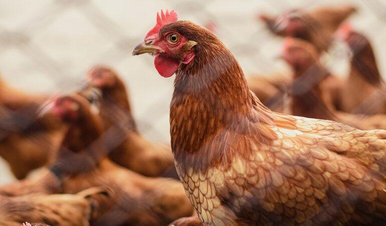Best Chicken Breeds